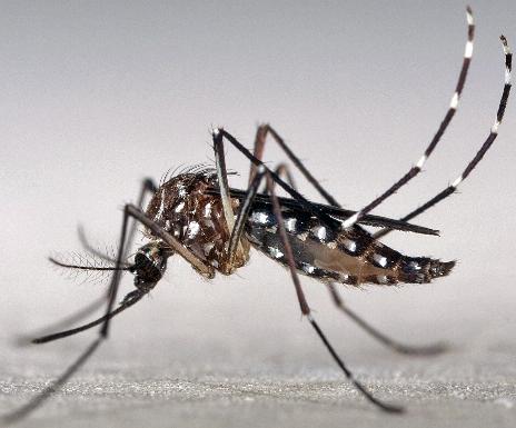 ジカ熱とは「ネッタイシマカ」(熱帯縞蚊、学名:Aedes (Stegomyia) aegypti)が媒介する感染症.png